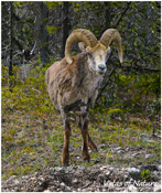 Image of Stone Sheep, Stone Mountain, NP, BC